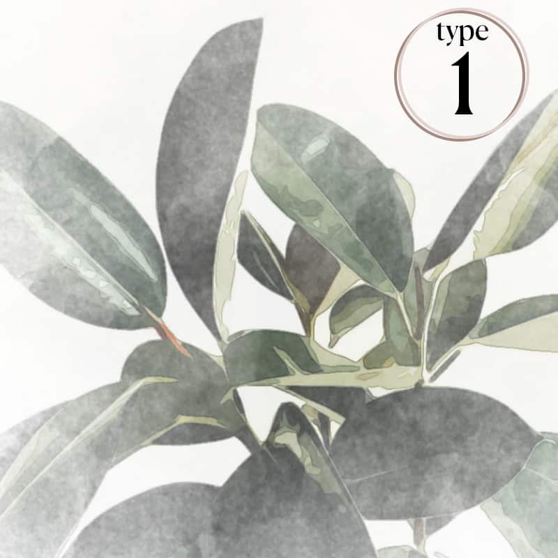 Watercolor rubber tree image on a white background